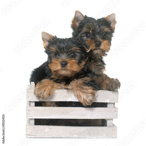 young yorkshire terrier - 115524153