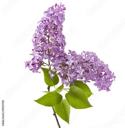 Fotobehang Lilac Lilac flower isolated on white background. (Syringa vulgaris)
