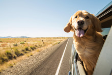 Golden Retriever Dog On A Road...