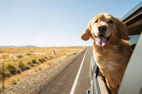 Photo  Golden Retriever Dog on a road trip