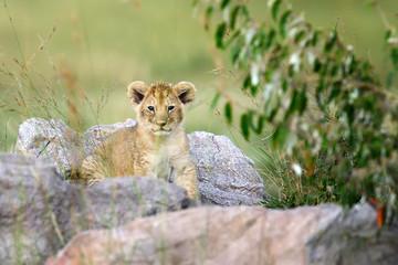 FototapetaAfrican lion cub