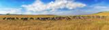 Fototapeta Sawanna - Zebras in a row walking in the savannah in Africa