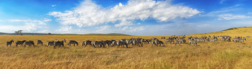 Zebras in a row walking in the savannah in Africa