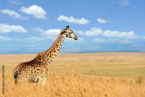 fototapeta na ścianę Giraffe on savannah in Africa