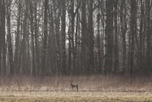 Sweden, Skane, Doe Standing In Meadow
