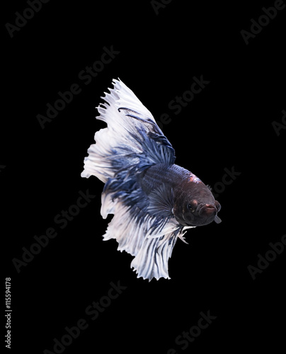 Foto op Aluminium Schilderingen betta halfmoon fighting beautiful fish close up