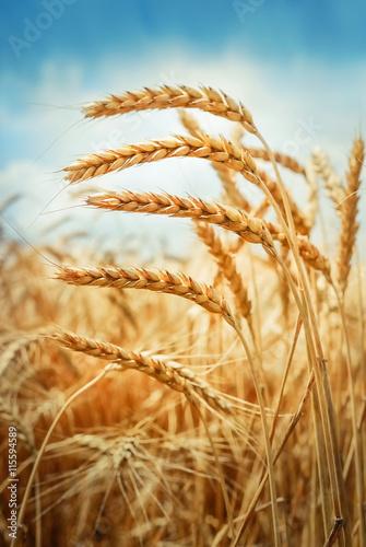 Golden cornfield in sunny day
