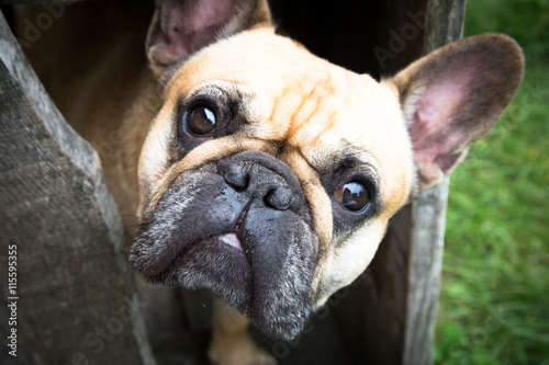 Stickers pour porte Bouledogue français French bulldog looking at you. beautiful eyes