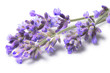 Blossoming Lavender (Lavandula), clipping paths