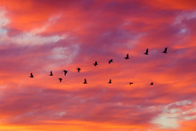 Birds Flying In Formation At S...