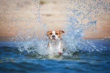 American Staffordshire Terrier Dog Jumping Into The Sea Water With A Lot Of Splashses