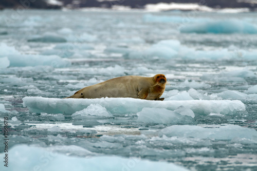seal on a ice pack in svalbard