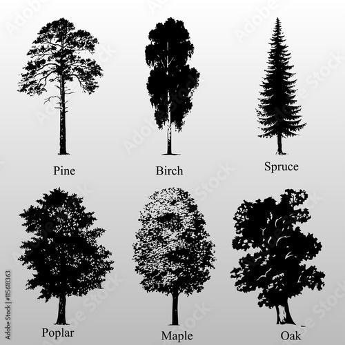 Fényképezés birch pine oak spruce poplar maple