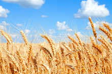 Background Of Wheat Field With Ripening Golden Ears