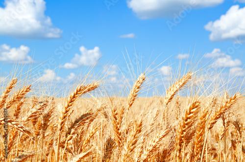 Foto op Plexiglas Weide, Moeras Background of wheat field with ripening golden ears