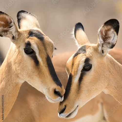 fototapeta na lodówkę Portrait of Two Blackfaced Impala