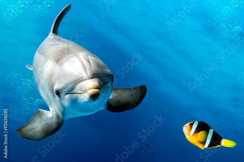фотографія  dolphin underwater on blue with clown fish nemo