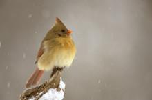 Female Northern Cardinal On Sn...