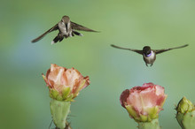 Black-chinned Hummingbird, Arc...