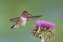 Broad-tailed Hummingbird, Selasphorus Platycercus, Male In Flight Feeding On Musk Thistle (Carduus Nutans), Rocky Mountain National Park, Colorado, USA, June