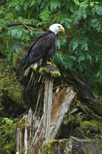USA, Alaska, Inside Passage. Bald Eagle On Splintered Log Near Anan Creek.