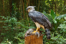 Harpy Eagle Eating Bunny