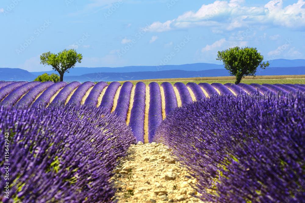 Landscape and lavender field, France