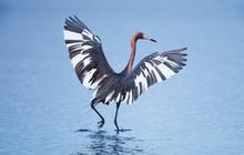 A Pecular Hybrid Of The Dark And White Morphs Of The Reddish Egret (Egretta Rufescens) Fishing.  USA, Florida, Sanibel Island, Ding Darling National Wildlife Refuge