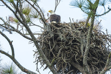 USA, Florida, Daytona, Bald Eagle On Nest