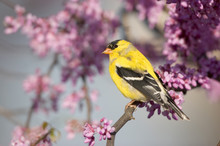 American Goldfinch (Carduelis Tristis) Male In Eastern Redbud Tree (Cercis Canadensis). Marion, Illinois, USA.