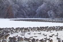 Canada Geese (Branta Canadensis) Flock On Frozen Lake, Marion, Illinois, USA.
