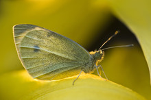 USA, Ohio. Close-up Of Sulphur Butterfly On Yellow Daffodil Flower. Credit As: Nancy Rotenberg / Jaynes Gallery / Danita Delimont.com