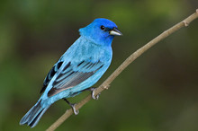 USA, Texas, South Padre Island. Portrait Of Indigo Bunting Male On Branch. Credit As: Dave Welling / Jaynes Gallery / DanitaDelimont.com
