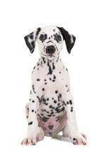 Cute Black And White Sitting Dalmatian Puppy Dog Facing The Camera Isolated On A White Background