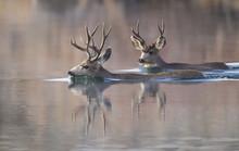 USA, Wyoming, Sublette County, Mule Deer Bucks Swimming Lake To Migrate.