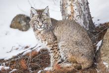 USA, Wyoming, Yellowstone National Park, Bobcat Sitting Under Tree.