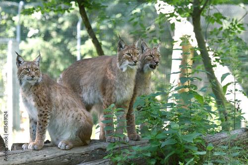 Poster Puma lynx