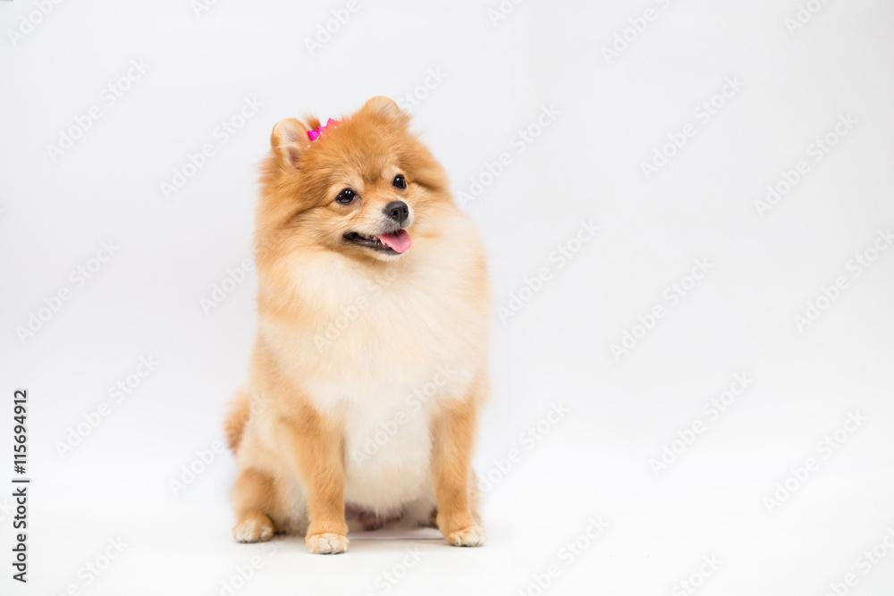 Fotografía Pomeranian dog on a white background   Europosters.es