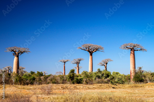 Printed kitchen splashbacks Baobab Baobabs