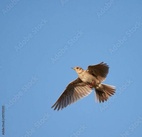 Valokuva Woodlark in flight