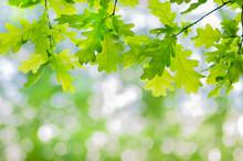 Green Oak Leaves