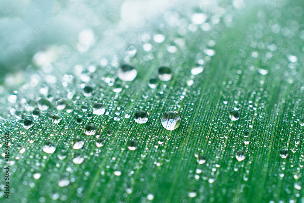 Fototapety, obrazy: Drops of dew on a leaf marsh reeds.