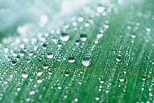 Drops Of Dew On A Leaf Marsh R...