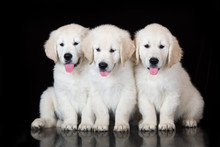Three Golden Retriever Puppies On Black
