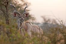 Greater Kudu, Tragelaphus Strepsiceros,kruger National Park