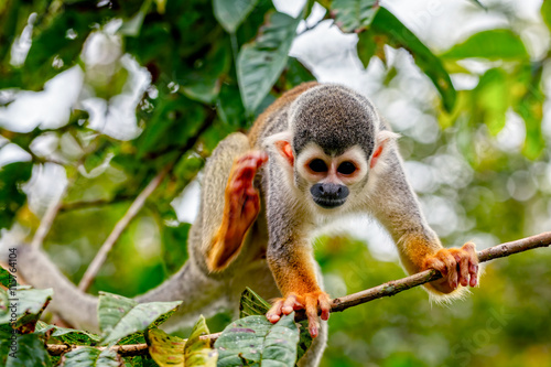 New World Monkey, Saimiri Sciureus