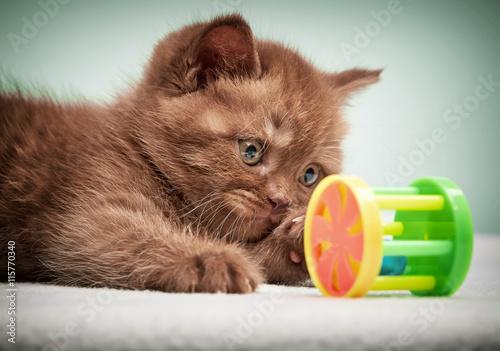 portrait of brown british kitten