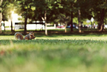Squirrel Holding Acorn On Grass At Park