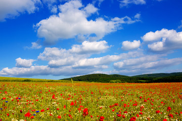 Panel Szklany Podświetlane Łąka Wild poppy flowers on blue sky background.