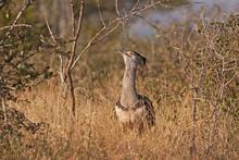 Kori Bustard, Kruger National Park, South Africa